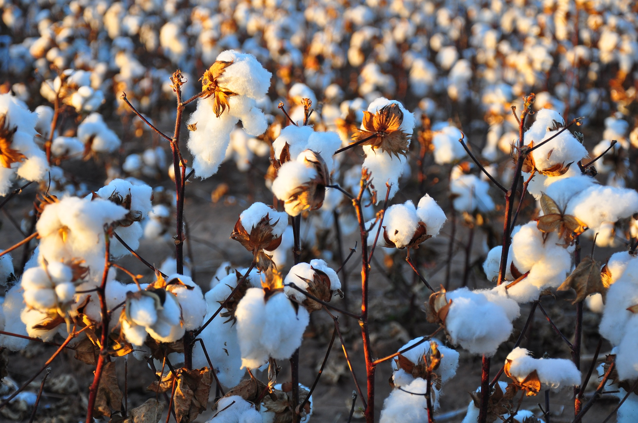 Although cotton is an enormously important commodity throughout the world, most people in developing countries receive a low price for their cotton. The top ten Cotton producers in the world are: China, India, United States, Pakistan, Brazil, Uzbekistan, Australia, Turkey, Turkmenistan,and Syria.